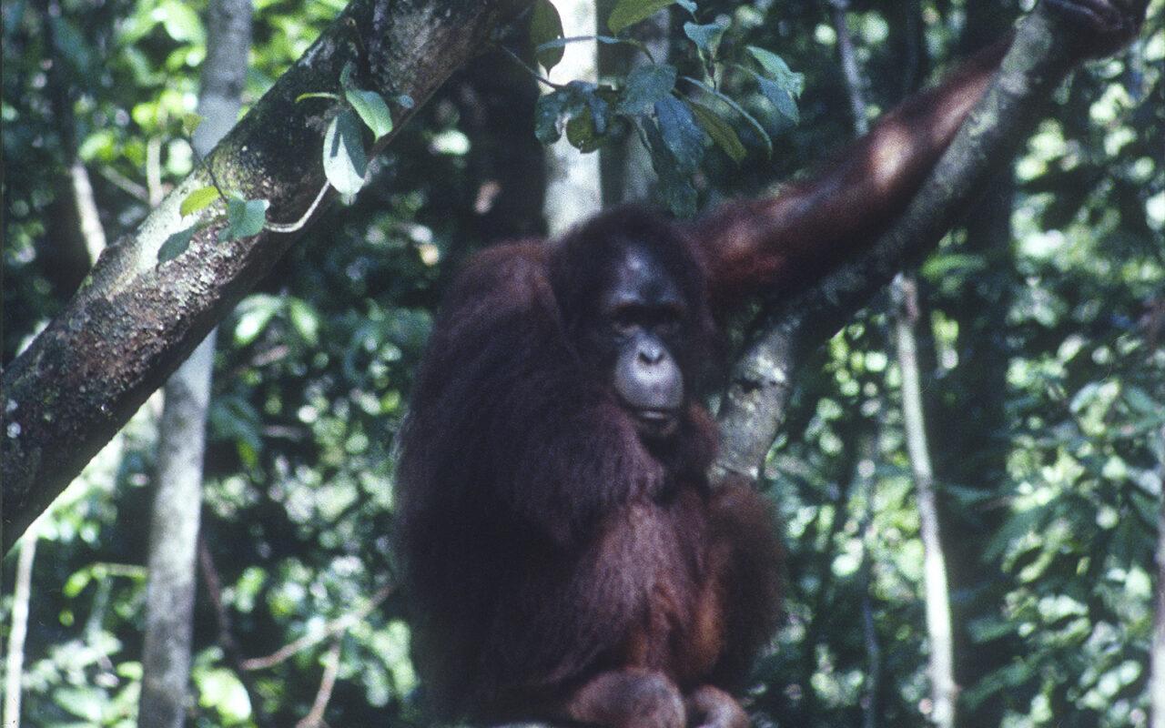 An Orangutan Has the Last Laugh